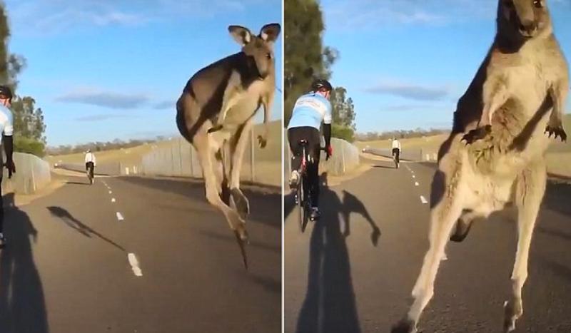 (VÍDEO) ¡Un canguro salta y choca contra un ciclista en Australia!