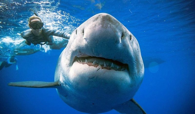 (VÍDEO) Aparece en Hawaii el tiburón blanco más grande del mundo